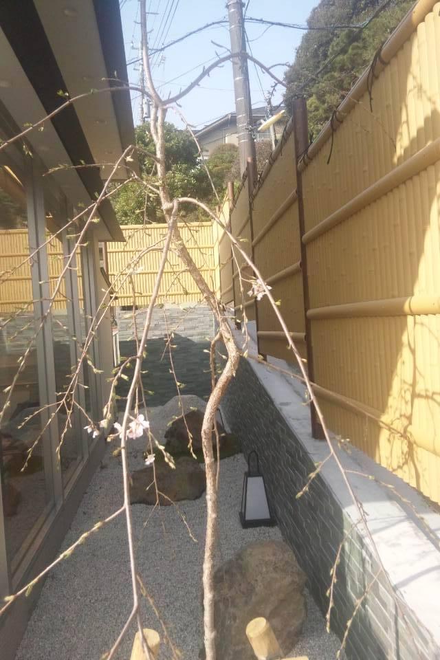 鎌倉はそろそろ桜が見頃です